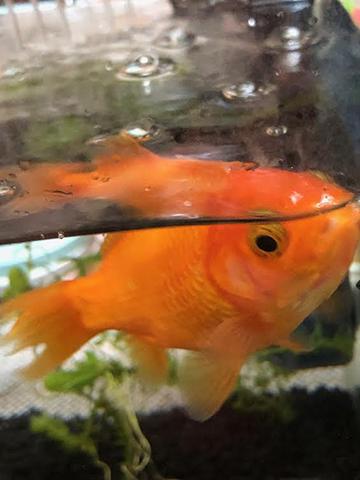 金魚のじゅんちゃん